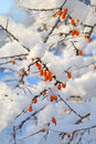 Berries under the snow hippophae Royalty Free Stock Images