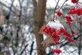 Berries of viburnum on a branch with white snow Royalty Free Stock Photography