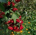 stock image of  Berries Viburnum close up