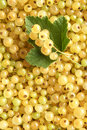Berries of a white currant Royalty Free Stock Photography