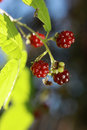 Berries of wild brambles on a branch close up Royalty Free Stock Images