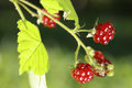 Berries of wild brambles on a branch close up Royalty Free Stock Photos