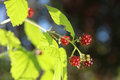 Berries of wild brambles on a branch close up Royalty Free Stock Photo