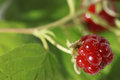 Berries of wild brambles on a branch close up Stock Image