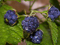 Berry blackberry branch Royalty Free Stock Photo