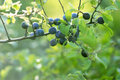 Berry fruit forest fruit branch of in Stock Image