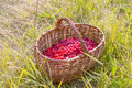 Berry raspberries in a basket on the grass Royalty Free Stock Photo
