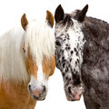 Best friends-Head of a Haflinger and Knabstrupper Horse. Royalty Free Stock Photo