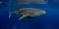 Best whale shark ever Royalty Free Stock Photo