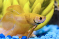 Beta fish close up of yellow Royalty Free Stock Photography