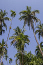 A betel nut palm tree and coconut trees. Royalty Free Stock Photo