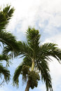 Betel palm with blue sky Stock Images