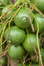Betel palm or nut or areca catechu Stock Photography