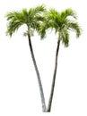 Betel palm tree element isolated