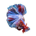 Betta fish,Siamese fighting fish in movement