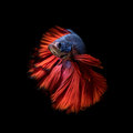 Blue dragon siamese fighting fish, betta fish isolated on black