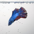 Red and blue siamese fighting fish halfmoon , betta fish isolate