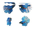 Betta fishes siamese fighting fish isolated on white background blue half moon Royalty Free Stock Photo