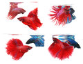 Betta fishes siamese fighting fish isolated on white background crown tail and half moon Stock Images