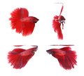 Betta fishes siamese fighting fish isolated on white background red halfmoon Stock Photos