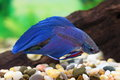 Betta splendens Royalty Free Stock Photo