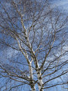 Betula birch tree in spring germany Stock Photos