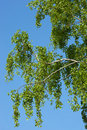 Betula pendula, Birch Stock Photo