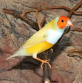 Gould`s finch or the rainbow finch Erythrura gouldiae Royalty Free Stock Photo