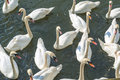 Bevy of swans swimming close together on thr river Royalty Free Stock Images