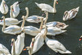 Bevy of swans swimming close together on thr river Stock Image
