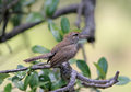 Bewick s wren thryomanes bewickii thrymanes perched in live oak with its wings slightly spread and beak open is a sure sign of Stock Photography