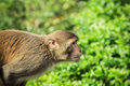 Beyond a grown rhesus macaque looking Stock Photography
