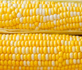 Bi colors corn background sweet ears Royalty Free Stock Photography