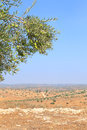 Biblical landscape olives branch on the background israel Stock Photos