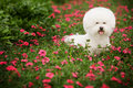 Bichon Frise Stock Photography