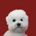 Bichon frise cutout isolated on red background Stock Photos