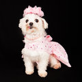Bichon Frise Dog Wearing Valentines Outfit Royalty Free Stock Photo