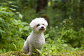Bichon frise a lovely female with nice expression in her head is sitting in the wood Royalty Free Stock Photos