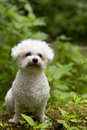 Bichon frise a lovely female with nice expression in her head is sitting in the wood Stock Image