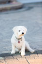 Bichon frise puppie lying on her belly and looking at you Stock Photo