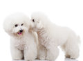 Bichon frise puppy dogs playing Royalty Free Stock Photo