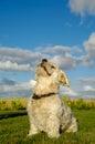 Bichon Havanais dog Royalty Free Stock Photo