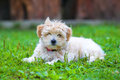 Bichon Havanais puppy resting in the grass Royalty Free Stock Photo