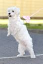 Bichon havanese dog stand up two legs Stock Image