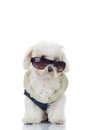 Bichon puppy dog wearing blue clothes and sunglasses Royalty Free Stock Photo