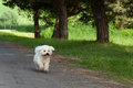 Bichon runs little white dog along the forest path between trees Stock Photos