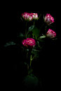 Bicolor pink rose with leafs be color on a black background Stock Photo