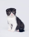 Bicolor scottish fold kitten Stock Photos