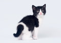 Bicolor scottish straight kitten Royalty Free Stock Images