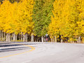 Bicycling in fall aspen trees man up the hill on the side of the mountain road autumn colorado Royalty Free Stock Photography